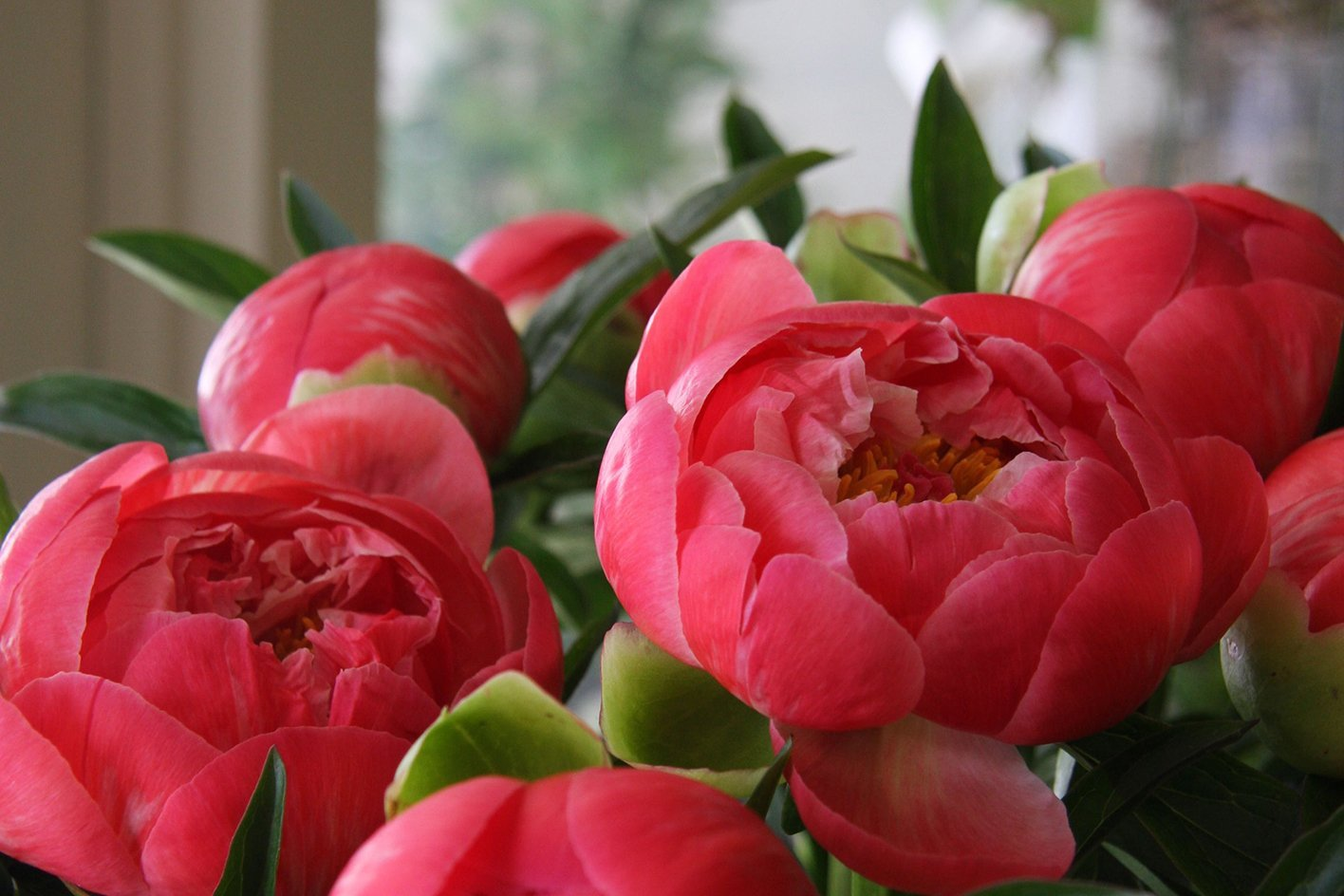 Coral Sunset Peonies.